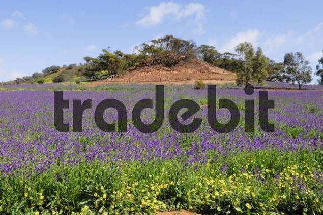 Purple Vipers Bugloss Echium plantagineum, wildflowers growing on a meadow in Western Australia, Australia