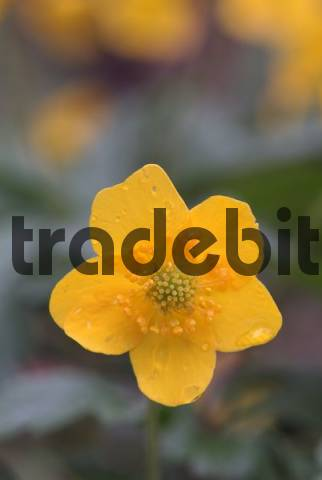 Yellow Wood - or Buttercup Anemone Anemone ranunculoides, Stans, Tyrol, Austria, Europe