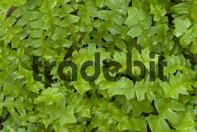 Aposeris foetida, Riedener See, Lechtal, Tyrol, Austria, Europe