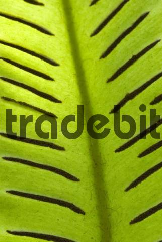 Detail, Harts-tongue Fern Asplenium scolopendrium, Botanical Garden of Andre Heller, Lake Garda, Italy, Europe