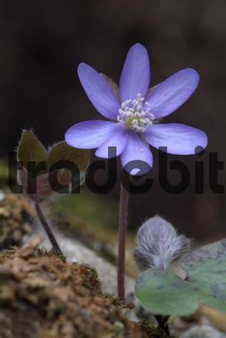 Kidneywort Hepatica nobilis, Tiefenbachklamm Gorge, Kramsach, Tyrol, Austria, Europe