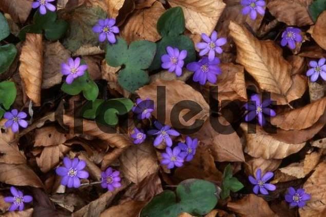 Kidneywort Hepatica nobilis, Tratzberg, Stans, Northern Tyrol, Austria, Europe