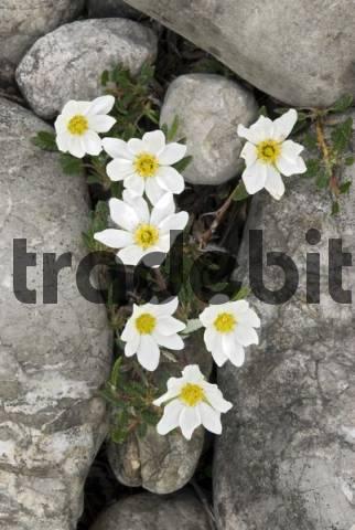 White Dryad or Mountain Avens Dryas octopetala, Martinau, Lechtal, Tyrol, Austria, Europe