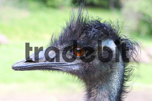 Ostrich Struthio camelus view of head