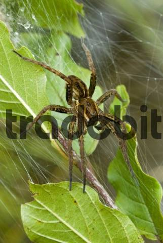 Raft Spider Dolomedes fimbriatus, Lake Riedenersee, Lechtal, Tyrol, Austria, Europe