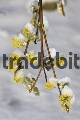 Wheeping Sally, Goat Willow, Great Sallow Salix caprea, Pendula cultivar catkins, pussy willows