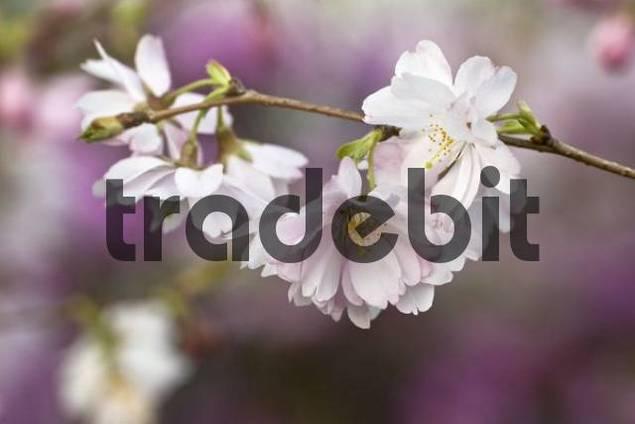 Blühende Winterkirsche, Frühlings-Kirsche, Higan-Kirsche Prunus subhirtella, Zweig mit Blüten