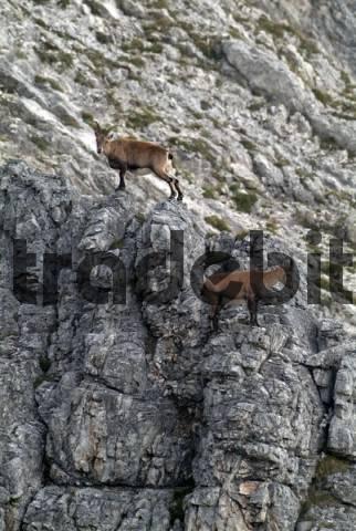 Male Alpine Ibexes Capra ibex on a rocky cliff, Kelberg, Karwendel Range, Tyrol, Austria, Europe