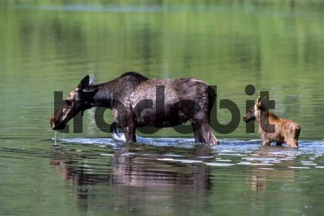 Elk or Moose Alces alces with calf, Grand Teton National Park, Wyoming, USA