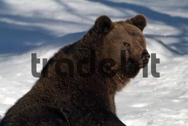 Brown Bear Ursus arctos in the snow