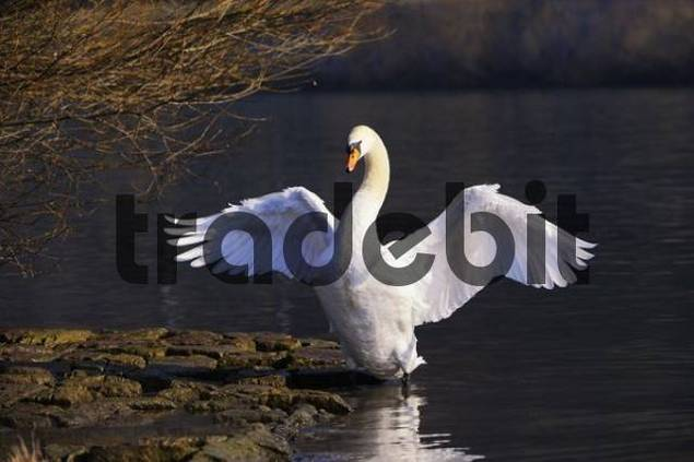 Mute Swan Cygnus olor flapping its wings