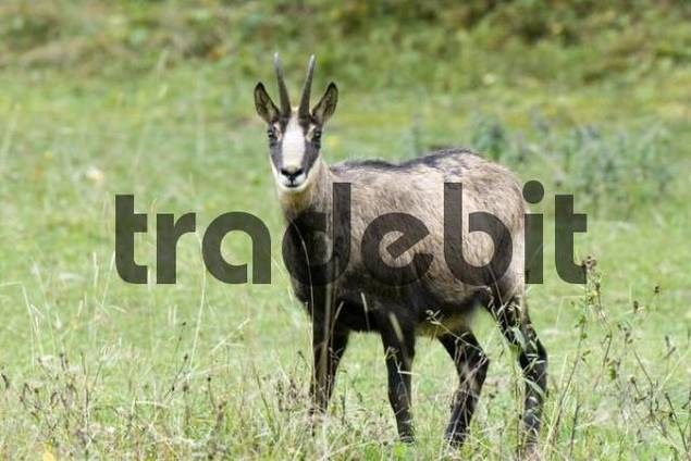 Chamois Rupicapra rupicapra, Eng-Alm alpine pasture, Karwendel Range, Tyrol, Austria, Europe
