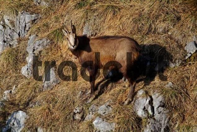 Chamois Rupicare rupicare, Stanser Joch, Tyrol, Austria