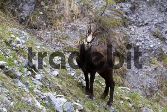 Chamois Rupicare rupicare, Vomperloch, Karwendel Range, Tyrol, Austria, Europe