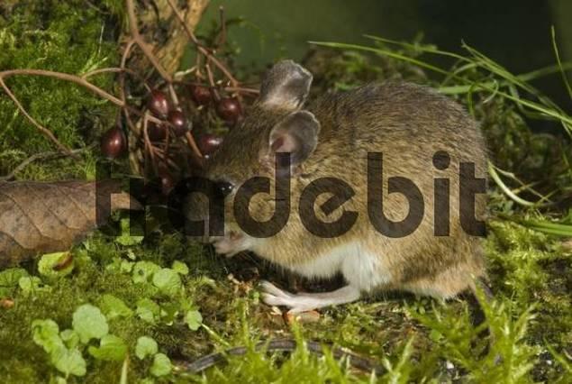 Yellow-necked Mouse Apodemus flavicollis, Schwaz, Tyrol, Austria, Europe