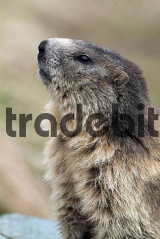 Alpine Marmot Marmota marmota, Hohe Tauern National Park, Carinthia, Austria, Europe