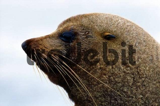 Southern - or New Zealand Fur Seal Arctocephalus forsteri, South Island, New Zealand