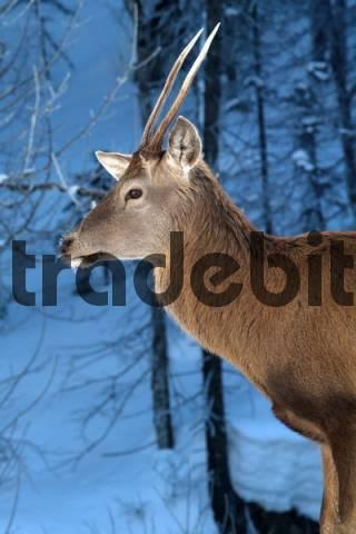 Red Deer Cervus elaphus, Hinterriss, Tyrol, Austria, Europe