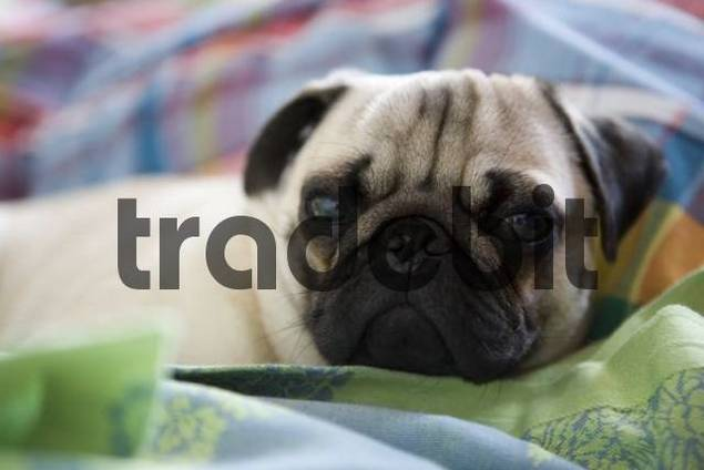 Young pug lying on a blanket