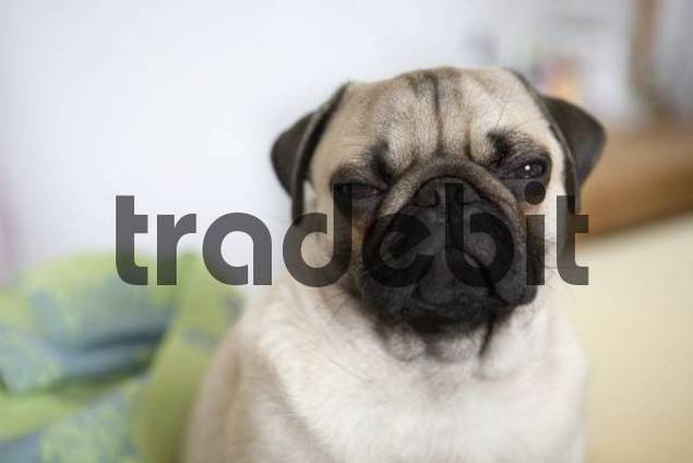 Young pug, portrait
