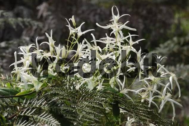 Common Clematis Clematis pubescens on fern fronds, Big Brook Dam near Pemberton, Western Australia