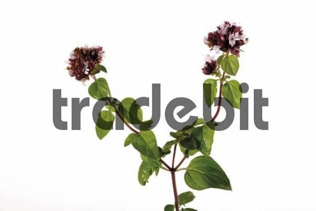 Flowering oregano Origanum vulgare