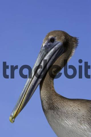 Portrait of a Brown Pelican Pelecanus occidentalis