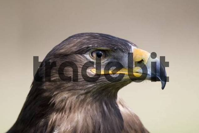 Steppe Eagle Aquila nipalensis, Freisen Zoo, Saarland, Germany