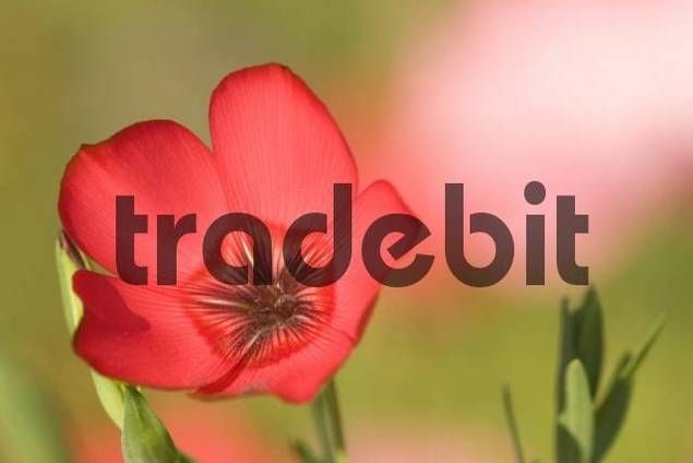Red or Flowering Flax Linum grandiflorum
