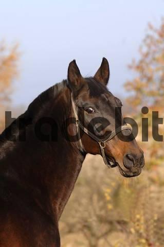 Czech warmblood, brown stallion