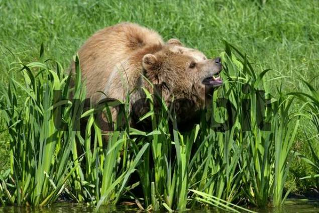Brown Baer Ursus arctos on the lakeside, calling his cubs, Bavaria, Germany, Europe