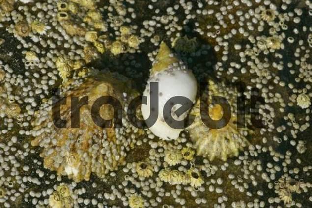 Common Limpets Patella vulgata, Dog Whelk Nucilla lapillus and Barnacles Semibalanus balanoides on a fallen down, dried out piece of rock, ebb, coast near Elgol, Isle of Skye, Western Highlands, G