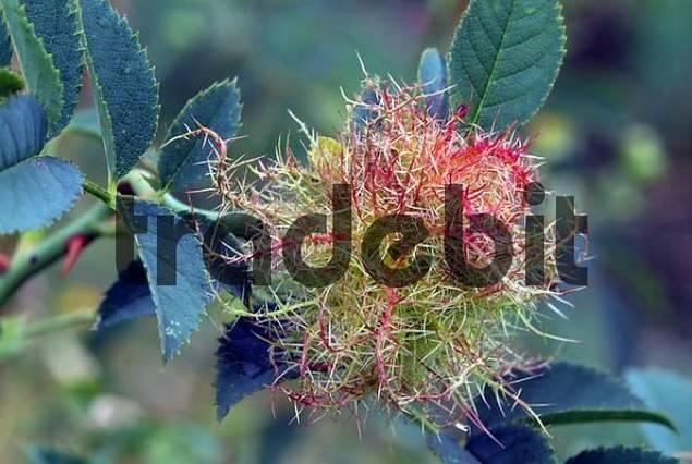 Mossyrose Gall Wasp Diplolepis rosae, Feldthurns, Bolzano-Bozen, Italy, Europe