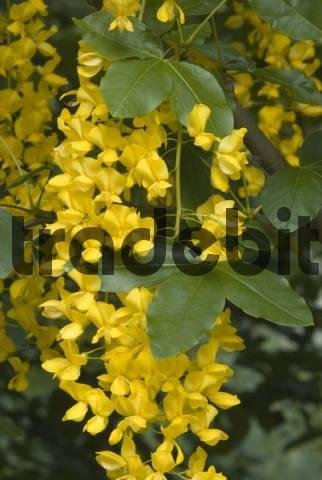 Common Laburnum Laburnum anagyroides, Prader Sand, Prad, Vinschgau, Bolzano-Bozen, Italy, Europe