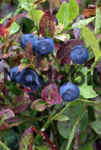 Bilberry, Blueberry Vaccinium myrtillus, Kellerjoch, Schwaz, Tyrol, Austria, Europe