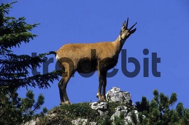 Chamois Rupicapra rupicapra standing on a rocky outcrop