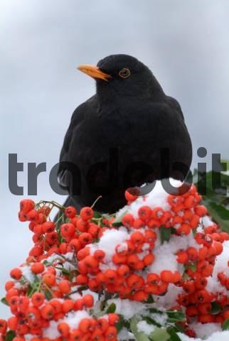 Blackbird Turdus merula, Schwaz, Tyrol, Austria, Europe