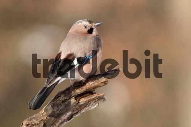 Eurasian Jay Garrulus glandarius, Schwaz, Tyrol, Austria, Europe