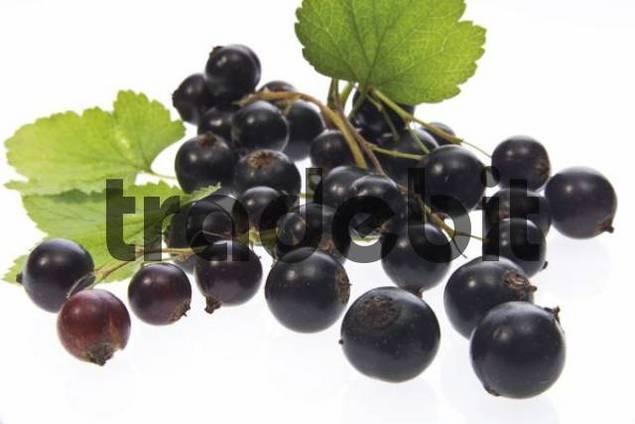 Black currants Ribes nigrum