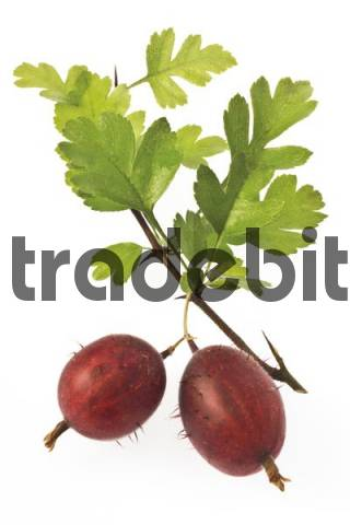 Red gooseberries Ribes uva-crispa on a twig