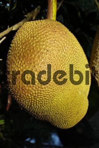 Ripe Jackfruit Artocarpus heterophyllus