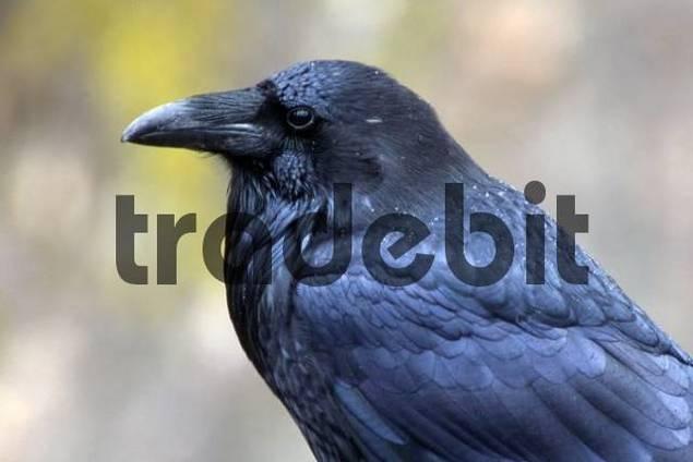 Common Raven Corvus corax, Karwendel mountain range, Tyrol, Austria, Europe