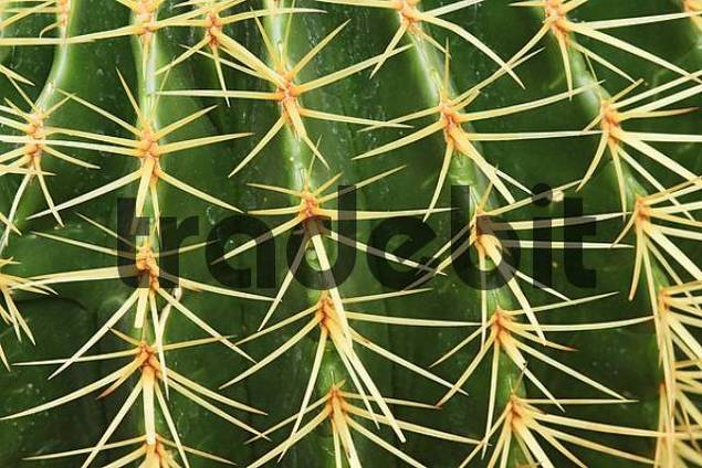 Cactus spikes, Golden Barrel Cactus, Golden Ball or Mother-in-Laws Cushion Echinocactus grusonii