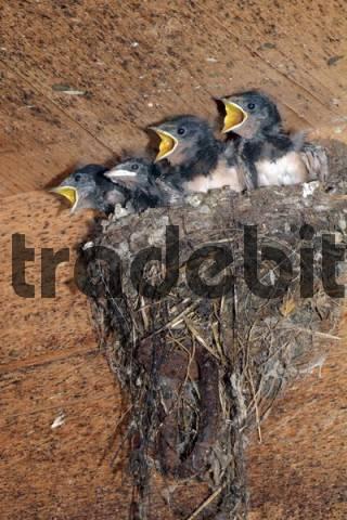 Barn Swallows Hirundo rustica, young in their nest, Schwaz, Tyrol, Austria, Europe