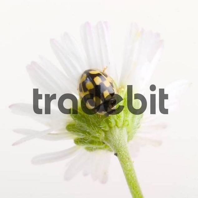 Propylaea quatuordecimpunctata