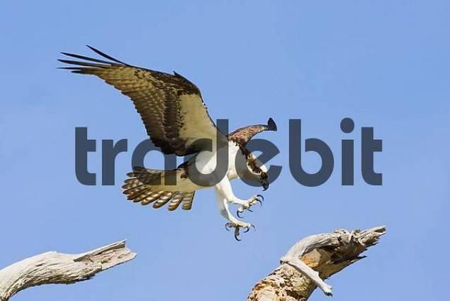 Osprey Pandion haliaetus close to landing, Pine Island, Cape Coral, Florida, USA