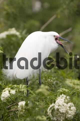 Great Egret Ardea alba with breeding plumage, Gator Park, Kissimmee, Florida, USA
