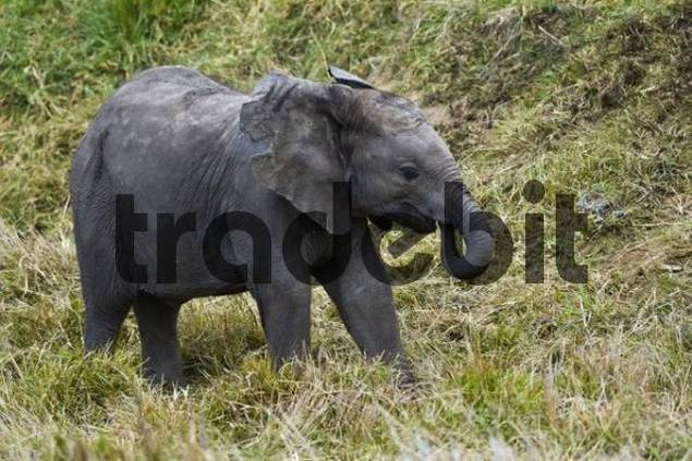 Elephant calf Loxodonta africana, South Africa