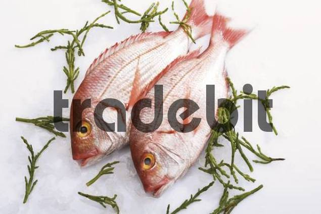 Gilt-head sea breams on crushed ice with seaweed