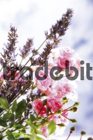 Flower bouquet of climbing rose and lavender